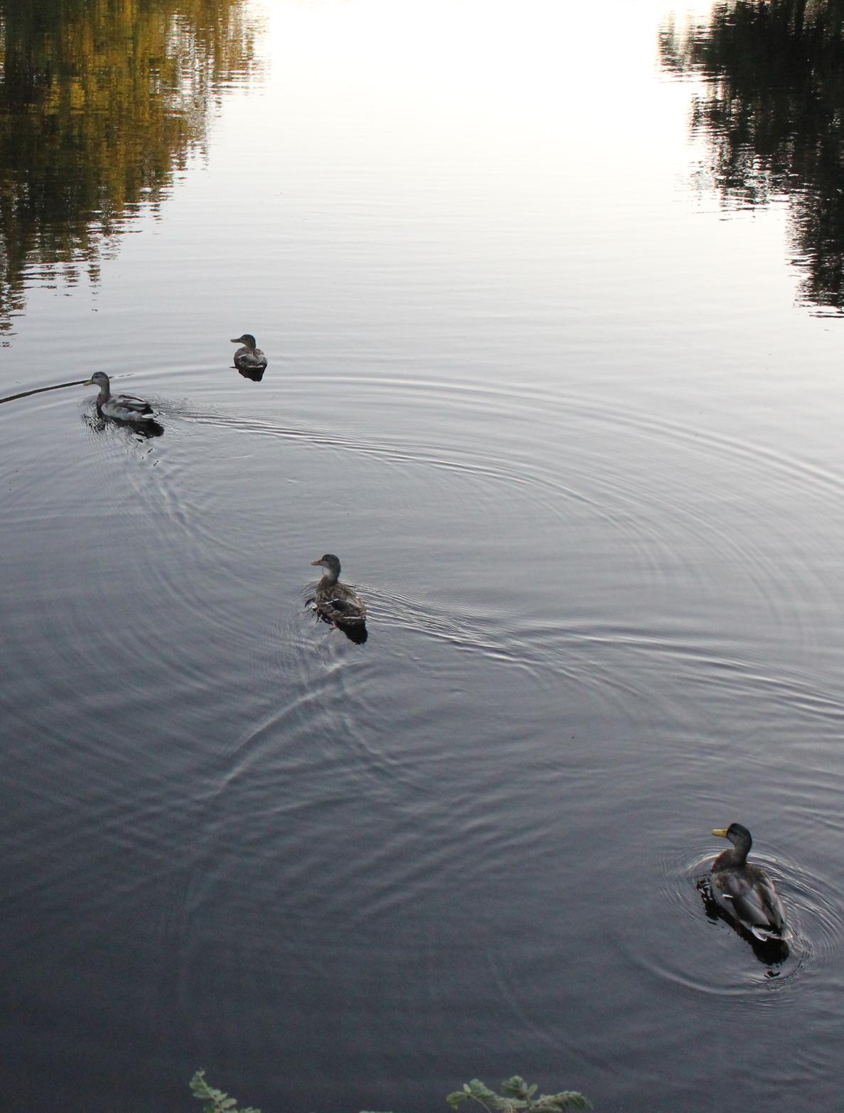 mcmullen ducks